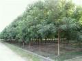 重阳木(三叶树)