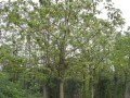 优质重阳木(三叶树)