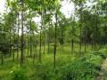 提供重阳木(三叶树)