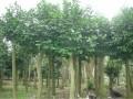 供应重阳木(三叶树)