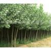 杨树苗产地价格,3,4,5,6,7,8公分速生杨产地价格