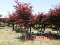 小葉女貞樹紅繼木樹樁榆樹樁紅楓