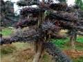 湖南红花继木造型树批发基地景观树 (5图)