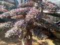 小叶女贞造型景观树红花继木景观树