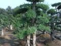 红桎木桩造型女贞桩造型杜英榆树