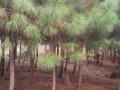 湿地松1-8CM