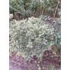 富順花卉供應1.5米金邊冬青球