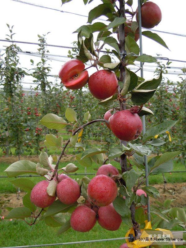 熊岳红肉苹果苗价格|果树小苗|苗木|苗木报价|597