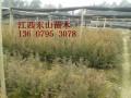 红豆杉70公分高100萬棵