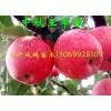 2510苹果新品种