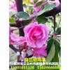 新品红叶稠李和新品北美海棠,黄花丁香,小苗和接穗