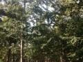 20公分银杏树