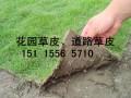 湖南草皮苗木-草皮小苗 (2图)