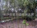 湖南香樟树