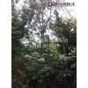 供应10-30公分丝绵木、安徽丝绵木价格、求购丝绵木