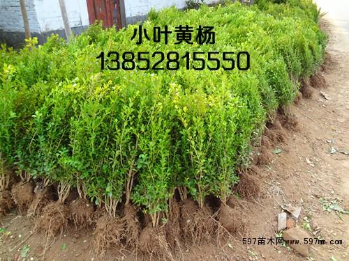 绿篱苗小叶黄杨球价格-色块苗小叶黄杨球价格-小叶黄杨球图片价格