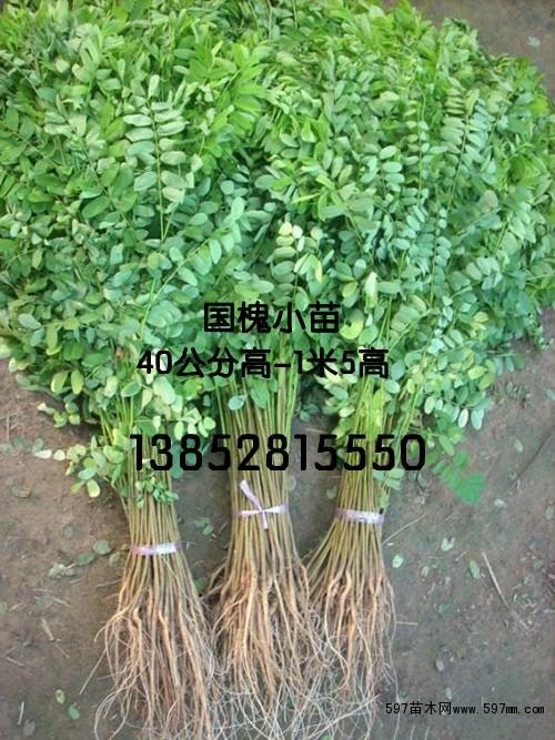 国槐小苗价格 绿化小苗 绿化苗木 供应信息 597苗木