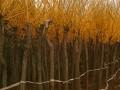 沭阳黄金槐