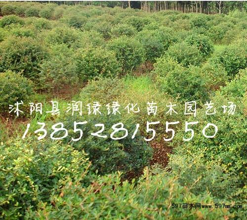 597苗木网 苗木报价 苗木 乔灌木  80公分火棘球 价格,江苏批发