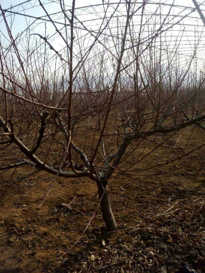 克拉玛依桃树苗价格 苗木 苗木报价
