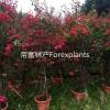 红花簕杜鹃,水红三角梅  现货供应