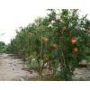 6公分7公分8公分石榴苗石榴树苗价格-山东泰安瑞达苗木供应