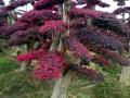 精品造型红继木桩