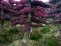湖南精品造型红继木桩