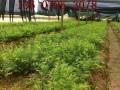 大量各种规格红豆杉