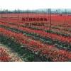夏溪红叶石楠小苗多少钱