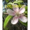 哪里有木瓜种子葡萄樱桃石榴山楂苹果木瓜小苗多少钱一棵