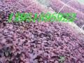 紫葉桃紅葉李小苗