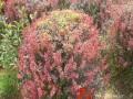 红叶小檗球