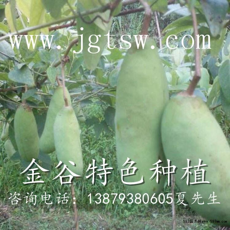 """八月瓜是木通科八月瓜属八月瓜种植物,系多年生落叶缠绕木质藤本。八月瓜又名八月炸,木通和三叶本通的,野生果品。因八时熟开裂而得名。 叶互生。雌雄同株异花授粉,花为完全花序,雄花序和单生雌花,紫红色; 果形似香蕉,含糖、维生素C和12种氨基酸,以及人本不能合成的蛋按酸、异壳氨酸、丙氨酸、赖氨酸等。果实为浆果,紫色或褐色,长圆形,长9厘米,直径6厘米,平均单果重90克,成熟期9~10月,味甜、浓香、滑嫩。果味香甜,为无污染的绿色食品,有""""土香蕉""""之称。灌木丛中野生资源丰富。为上乘野果,现"""