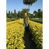 黃金芽茶苗、貴州黃金芽茶苗價格、四川黃金芽茶苗基地