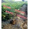 供應珍珠梅 營養杯珍珠梅樹苗 叢生珍珠梅 珍珠梅基地