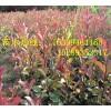 供應紅葉石楠\營養杯紅葉石楠 紅葉石楠基地 叢生紅葉石楠