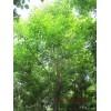 重阳木价格,13公分重阳木价格,15公分重阳木价格