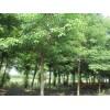 供应移栽重阳木4-5年全冠,13公分-15公分重阳木3米分支