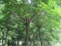 移栽重阳木