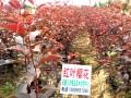 红叶樱花嫁接苗