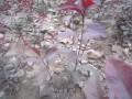 丛生紫叶矮樱