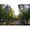 樸樹基地,成都樸樹基地,成都樸樹供應批發商