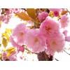 河北保定日本樱花地径3-6公分价格