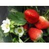 草莓苗 优质草莓苗结果 山东草莓苗结果 泰安草莓苗繁育基地