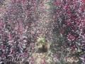 营养杯丛生紫叶矮樱