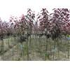 高杆红叶李供应,成都高杆红叶李供应,成都高杆红叶李种植基地