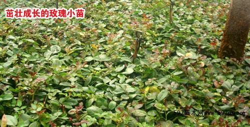云南月季苗,优质月季花苗,盆栽月季小苗,月季基地大量生产批发