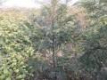 红豆杉绿化苗木