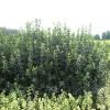 量供应大叶黄杨,大叶黄杨苗,大叶黄杨球,大叶黄杨基地